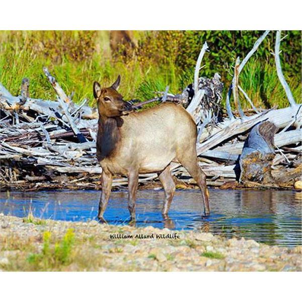 Utah Cow Elk - All Plateau Units - Conservation Permit