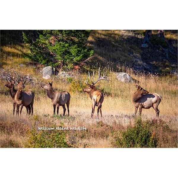 Utah Cow Elk - All South Slope Units - Conservation Permit