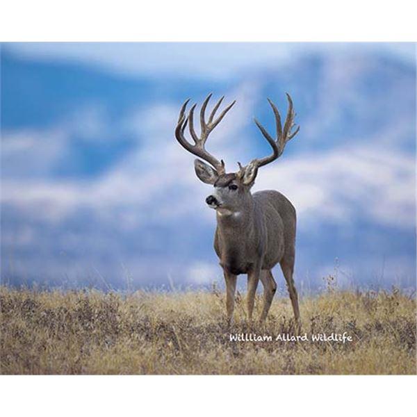 Utah Buck Deer - Book Cliffs - Conservation Permit