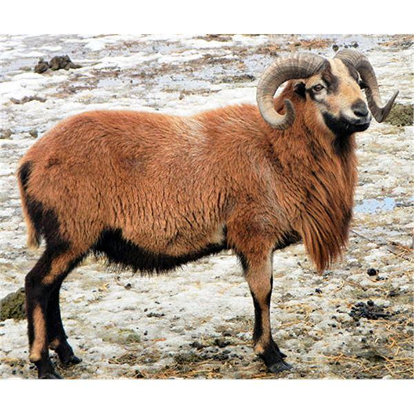 3/4 Curl Barbados Sheep Private Ranch Hunt in Elberta, Utah