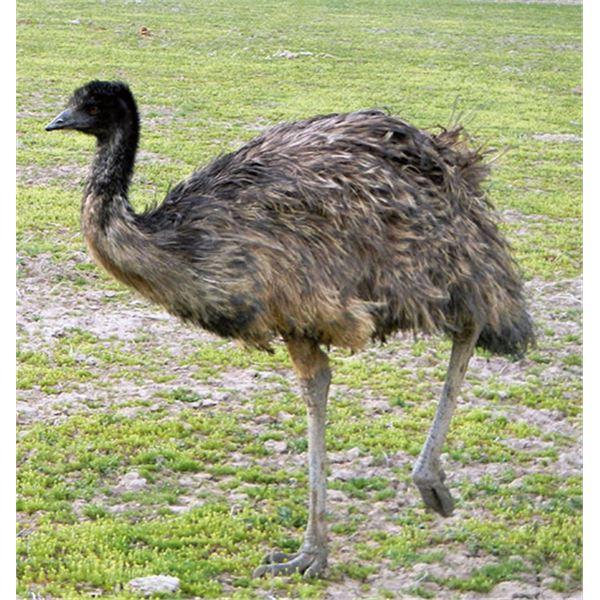 Emu Private Ranch Hunt in Elberta, Utah