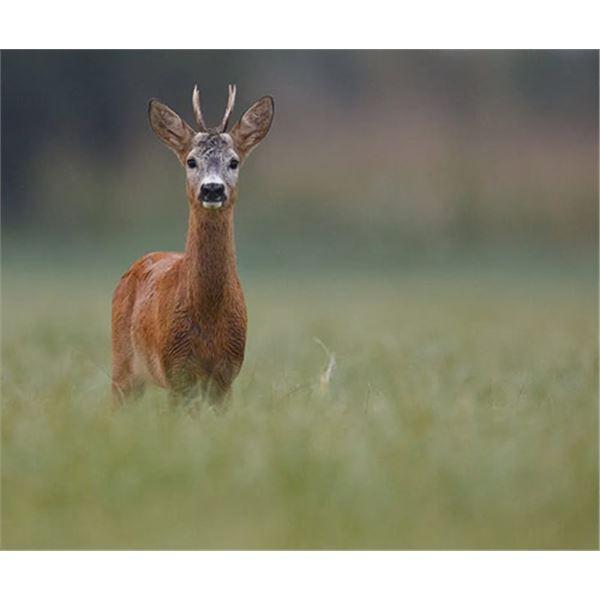 Serbian Roe Deer – Hunt and Tour Serbia