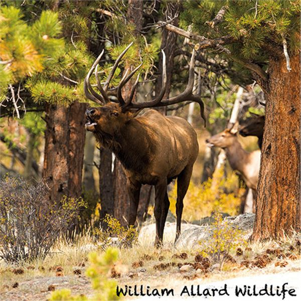 Bull Elk 20 X 30 Canvas Wrap Print