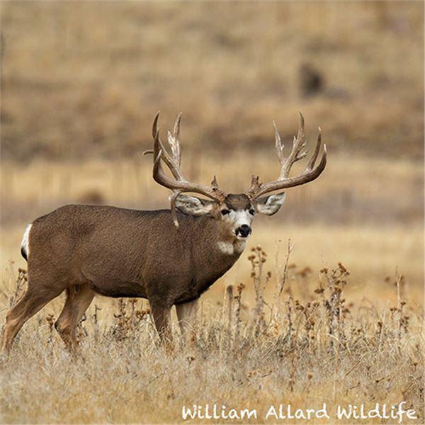 Mule Deer Buck 24 X 30 Metal Print