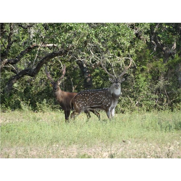 Trophy Exotic Hunt in Texas Hill Country - L&L Adventures