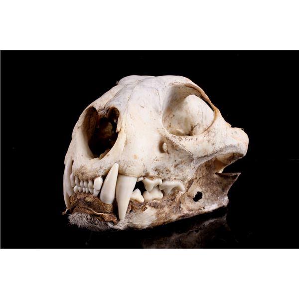 Montana Taken Trophy Bobcat Skull