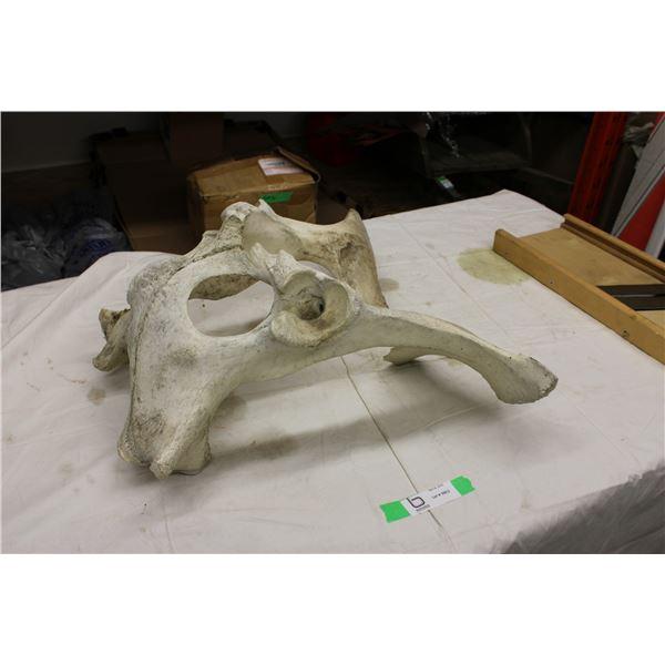 Animal Skull (Bone)