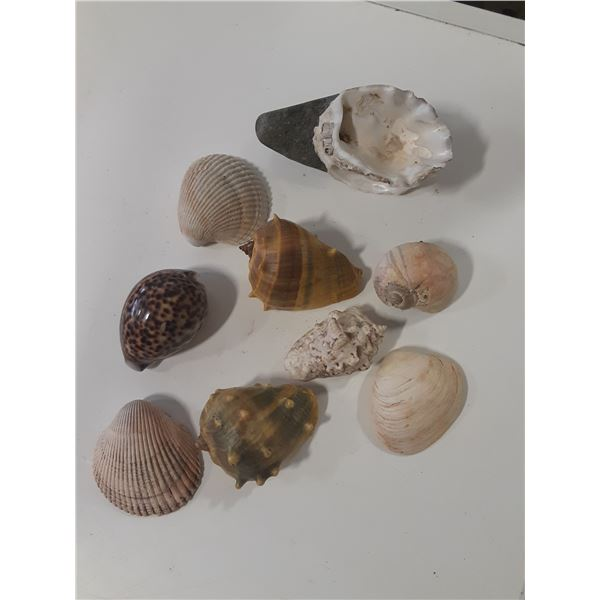 Lot of collectible sea shells