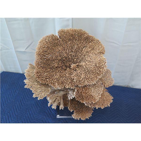 "Large Brown/Gold Natural Coral, Plexi-Glass Base, 26""W x 26""H"