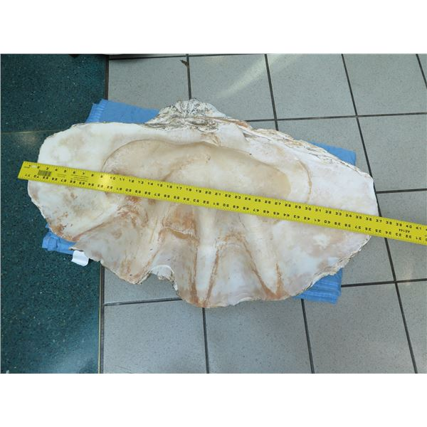 """Very Large Authentic Natural Clam Shell (Half), 36"""" Wide"""