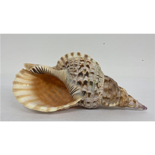 "Charonia tritonis Conch Shell 14"""