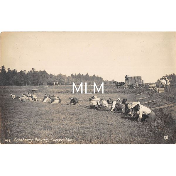 Carver, Massachuestts Cranberry Picking Real Photo Postcard