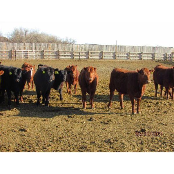 Helland Land & Cattle Co. Ltd. - 839# Heifers - 81 Head (Lomond, AB)