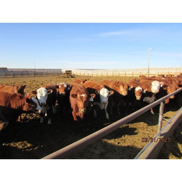 X Bar X Cattle Co. Ltd. - 831# Heifers - 145 Head (Lomond, AB)