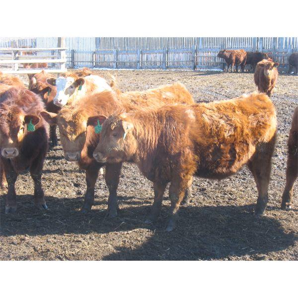 Breault Ranching Ltd. - 710# Steers - 168 Head (Ste. Rose, MB)