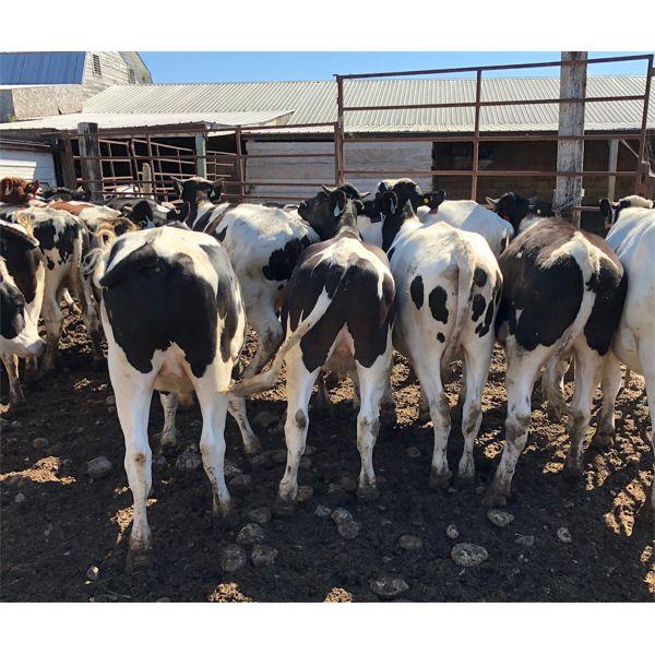 Sunrise Cattle Co. -  1085# Steers - 110 Head (Steinbach, MB)