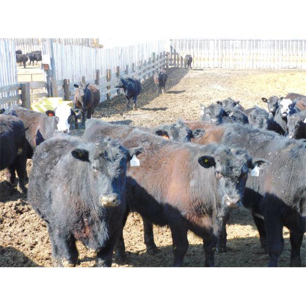 East Hilltop Holdings - 835# Steers - 80 Head (Crossfield, AB)