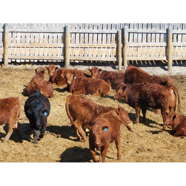 West Ridge Farms - 910# Steers - 86 Head (Crossfield, AB)