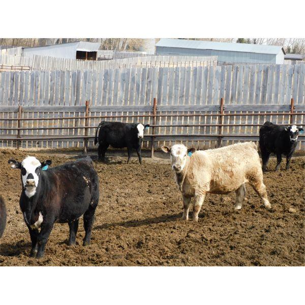 West Ridge Farms - 885# Steers - 75 Head (Crossfield, AB)