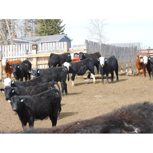 West Ridge Farms - 910# Steers - 84 Head (Crossfield, AB)