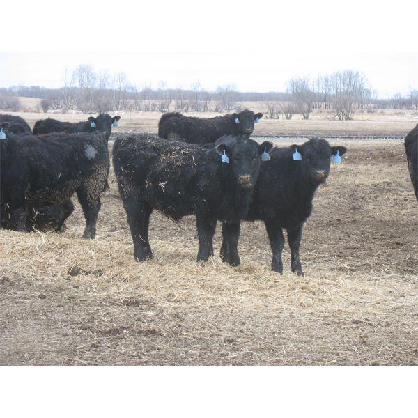 D & N Livestock - 750# Steers - 80 Head (Peebles, SK)