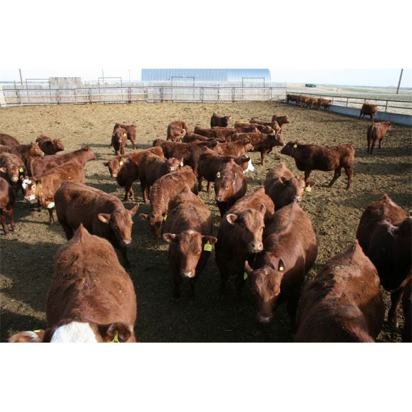 Schapansky Farms  - 900# Steers - 65 Head (Coaldale, AB)