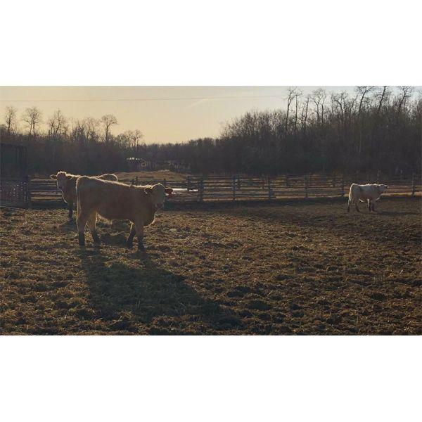 Reilly Lake Ranching - 810# Steers - 52 Head (Lloydminster, AB)