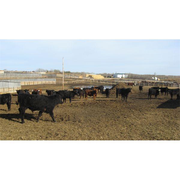 Reilly Lake Ranching - 625# Steers - 80 Head (Lloydminster, AB)