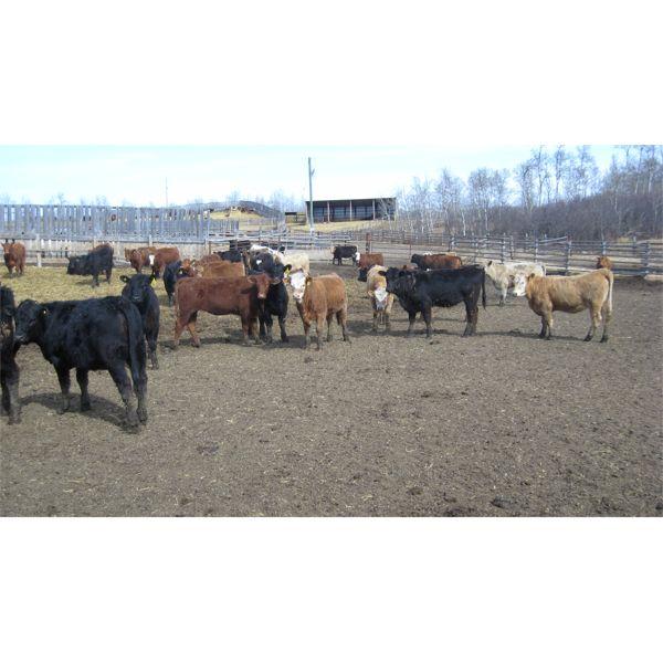 Reilly Lake Ranching - 910# Heifers - 140 Head (Lloydminster, AB)
