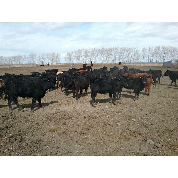 Lobo Ranching Ltd.  - 710# Heifers - 130 Head (Madden, AB)