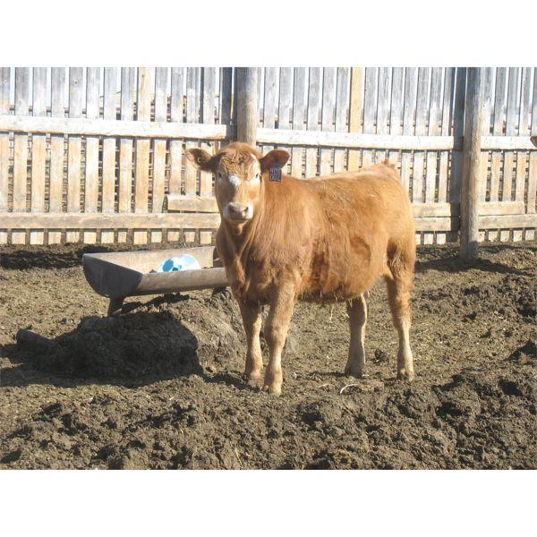Wayne Brokenshire - 850# Replacement Heifers - 15 Head (Estevan, SK)