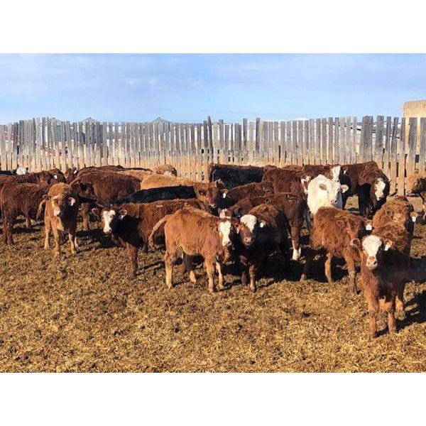 Hines Ranching Co. Ltd. - 900# Heifers - 550 Head (Lloydminster, AB)