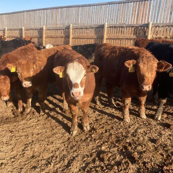 E&A McKee Holdings Ltd. - 1025# Steers - 120 Head (Turtleford, SK)
