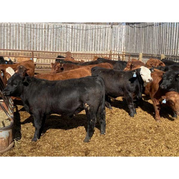 Monarc Enterprises Inc. - 1025# Steers - 59 Head (Cromer, MB)