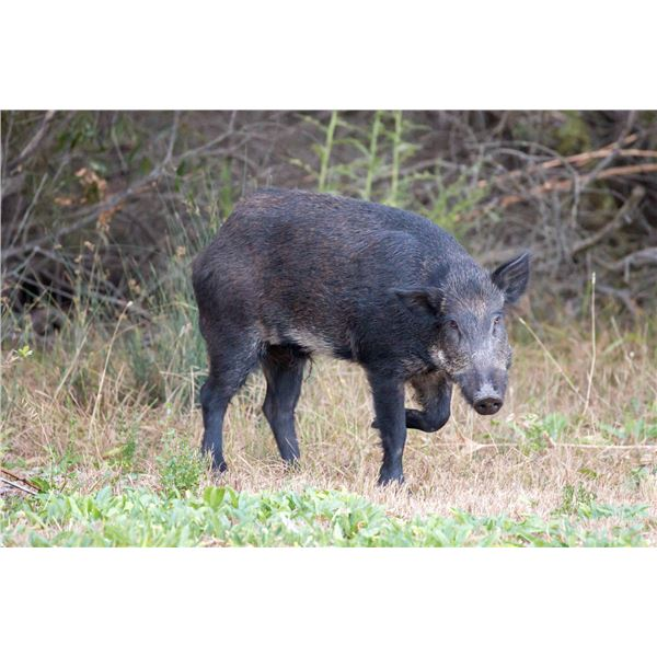 1 day Youth Only Estate hunt for Russian Hog, Shasta County, CA.