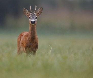 Serbian Roe Deer