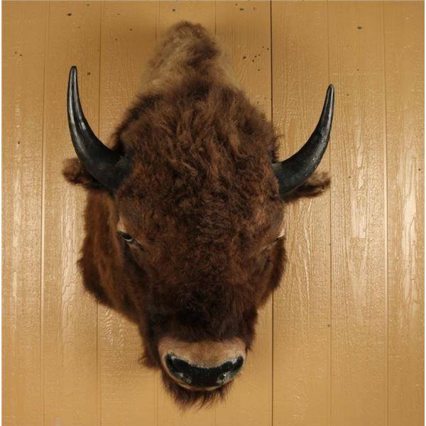 American Bison Shoulder Mount
