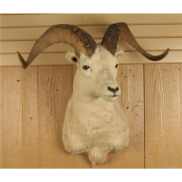 Dahl Sheep Shoulder Mount