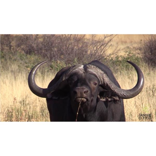 7-Day Cape Buffalo Hunt for 1 Hunter In The Northern Cape of South Africa