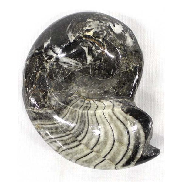 Orthoceras Fossil Specimen