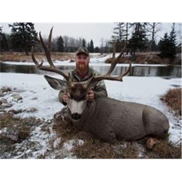 6 Day Trophy Mule Deer hunt for one hunter in Central Alberta