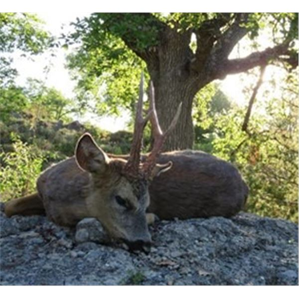 Fully outfitted 3 Day  Spanish Roe Deer Hunt for 1