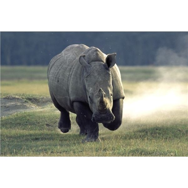 AFRICAN FIELD SPORTS: 5-DAY WHITE RHINO DART HUNT FOR ONE HUNTER AND ONE NON-HUNTER IN SOUTH AFRICA