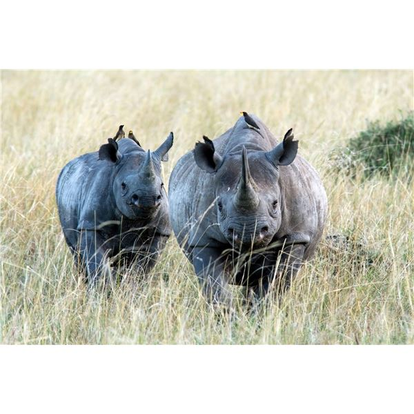 AFRICAN FIELD SPORTS: 5-DAY BLACK RHINO DART HUNT FOR ONE HUNTER AND ONE NON-HUNTER IN SOUTH AFRICA
