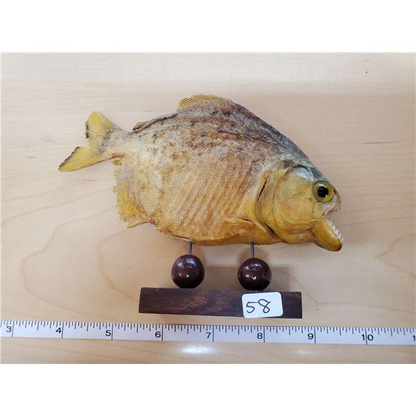 """7"""" PIRAHNA FISH TAXIDERMY"""