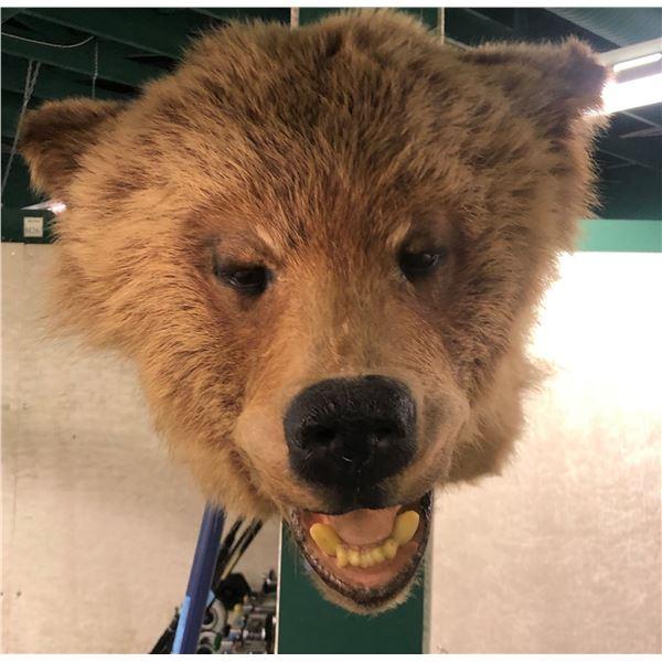 Brown bear taxidermy head mount