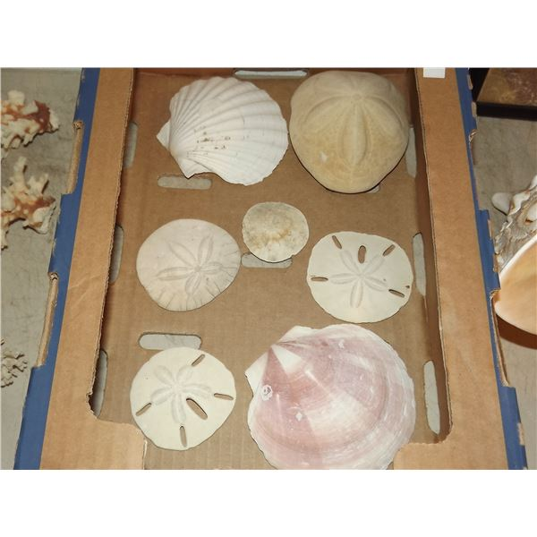 1 FLAT OF SAND DOLLAR AND  SHELLS
