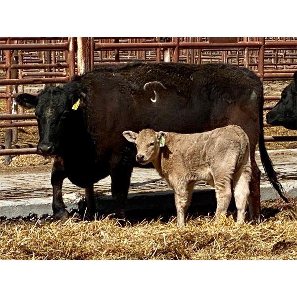 Lot 8 - Pen 511 - 5 pair - 5-6th calvers