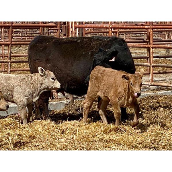 Lot 9 - Pen 513 - 5 pair - 5-6th calvers