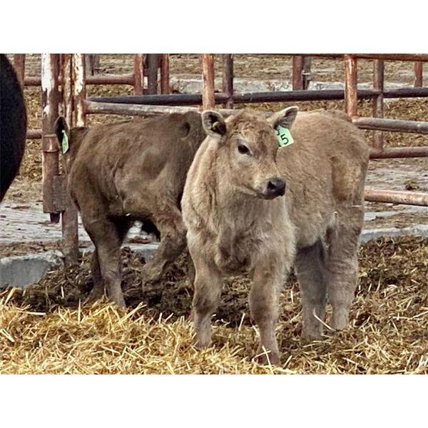 Lot 11 - Pen 508 - 5 pair - 5-6th calvers
